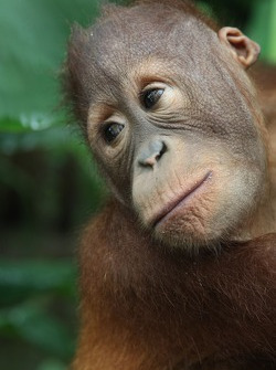 An Orang Utan at the Shangri-la's Rasa Ria resort, Borneo Orang Utan sanctuary Nature Reserve visit