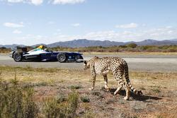 A cheetah with a Formule E car