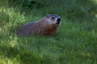 Una marmota mira la acción de la carrera