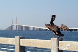 Pelican on Sunshine Skyway Bridge