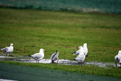 The seagulls enjoy the rain