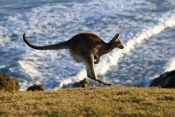 Un canguro sulla spiaggia