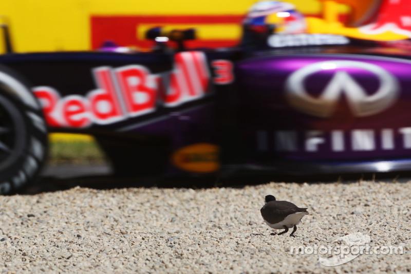 Un uccello osserva il passaggio di Daniel Ricciardo, Red Bull Racing RB11