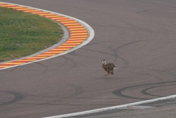 Rabbit on the track