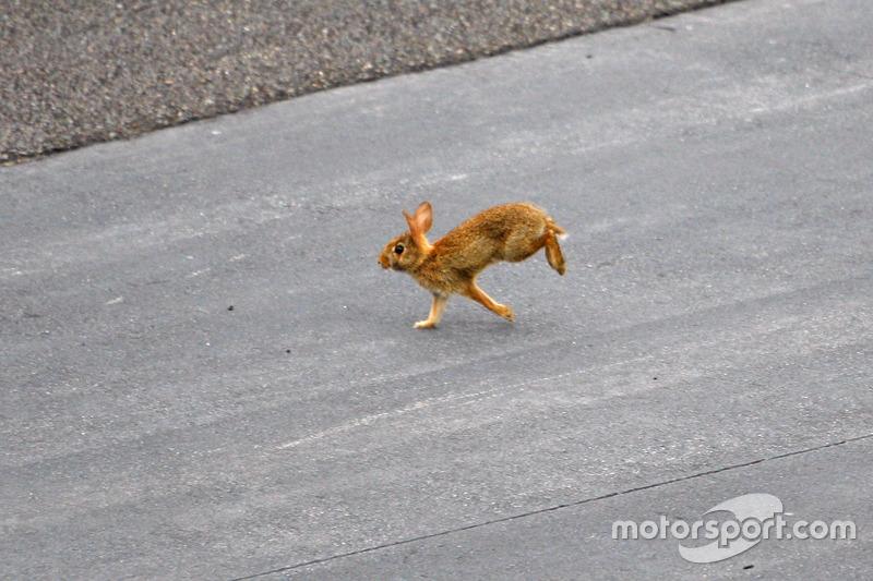 Seekor kelinci menyebrangi trek