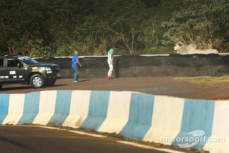 Boi dentro da área do autódromo de Cascavel, ao lado da curva do Bacião