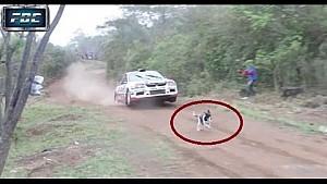 Ralli aracının zıplamasıyla kurtulan şanslı köpek